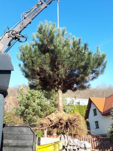 Przesadzanie drzew POLINSBUD